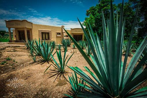 Agave, Tequila, Mexico, Guadalajara, Alcohol, Plant