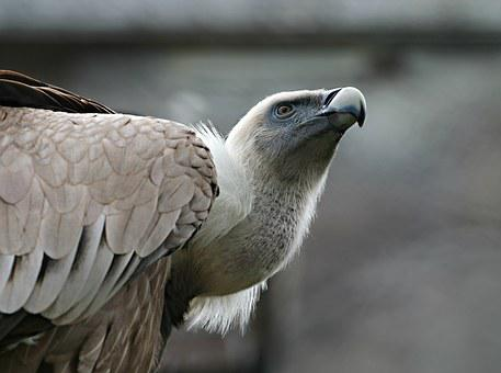 Eagle, Bird, Predator, Vulture, Beak, Watch, Pride
