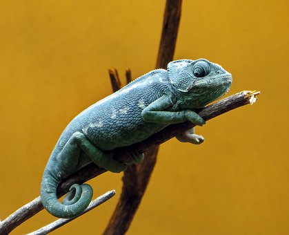 Chameleon, Reptile, Dinosaur, Colors, Animal, Blue