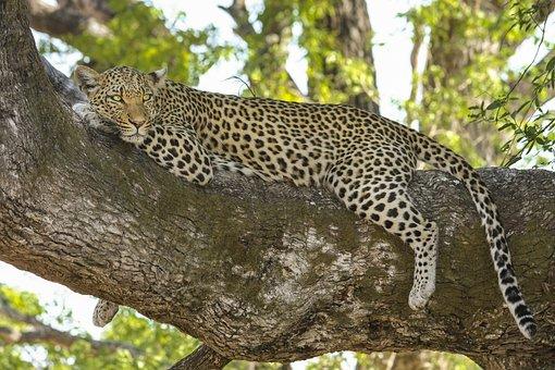 Leopard, Wildcat, Big Cat, Safari, Botswana, Africa