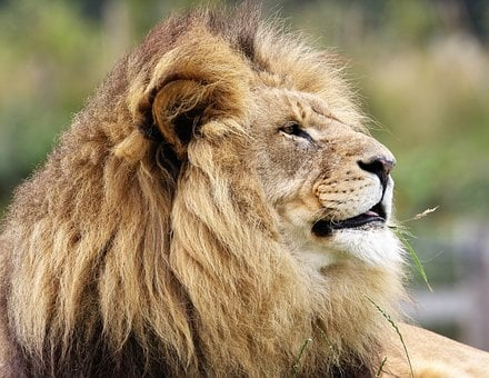 Lion, Big Cat, Big, Cat, Wildlife, Wild, Carnivore