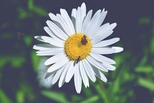 Margaret, Wasps, Detail, Wasp On Daisy, Petals, Flower