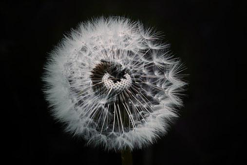 Dandelion, Flower, Plant, Pointed Flower, Seeds