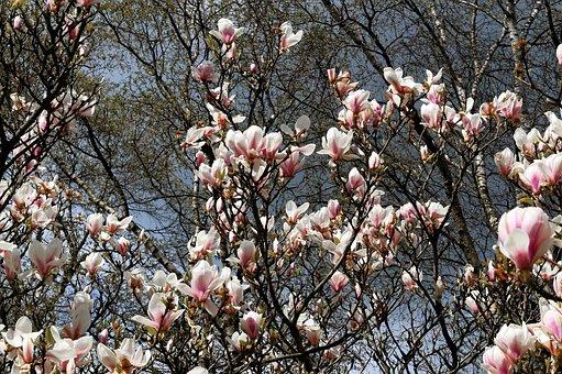 Magnolia Tree, Flowers, Spring, Nature, Magnolia, Bloom