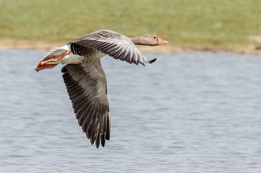 Greylag Goose, Graugans, Grauwe Gans, Waterbird, Geese