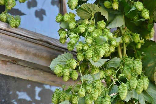 Hop Harvest, Hop Vines, Umbel, Hops, Harvest, Pluck