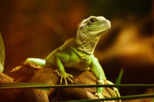 Lizard, Dragon, Reptile, Animal, Creature, Green, Head