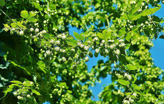 Hops, Hopfendolde, Beer, Green, Bavaria, Leaves