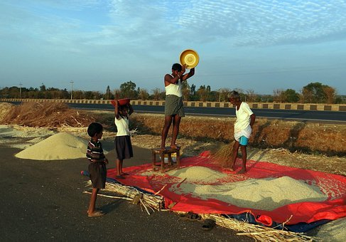 Sorghum, Hand Winnowing, Jowar, Karnataka, India