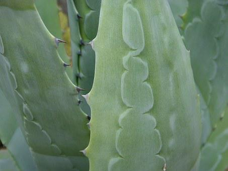 Agave, Pita, Leaf, Texture, Detail, Spina, Trail