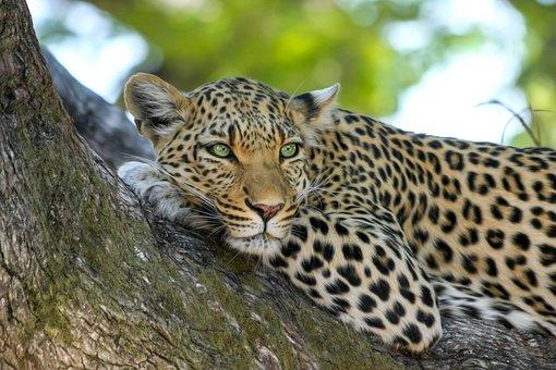 Leopard, Wildcat, Big Cat, Botswana, Africa, Safari