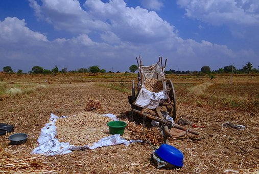 Sorghum Spikes, Drying, Cart, India, Lush, Agriculture