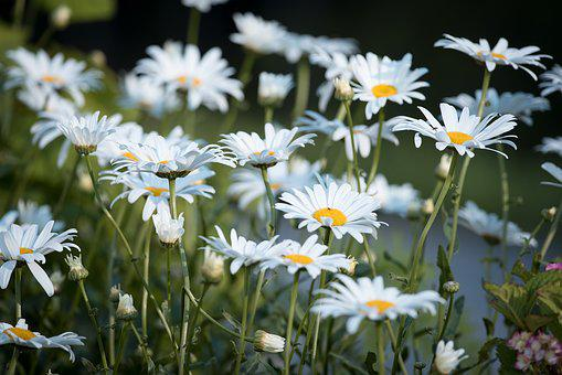 Marguerite, Meadow, Marguerite Meadow, Flower, White
