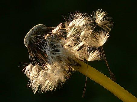 Dandelion, Seeds, Flower, Meadow, Spring, Stalk, Close