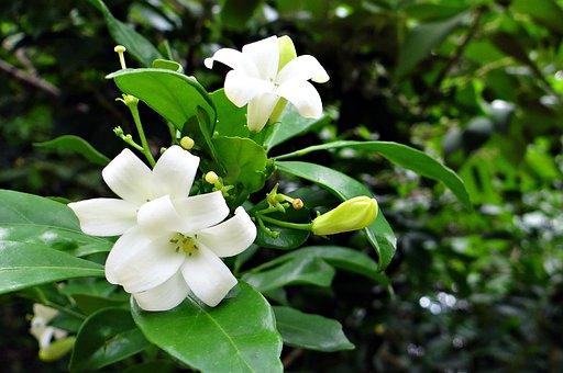 Orange Jasmine, Kamini, Kamini Kusum, Flower, White