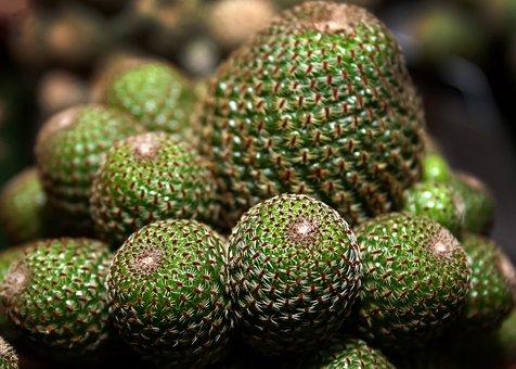 Cactus, Succulent, Plant, Close, Nature, Green, Spur
