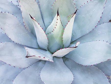 Cactus, Mammilaria Geminispina, Mexico, Plant, Rarely