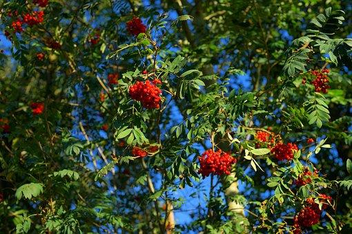 Rowan, Mountain Ash, Berries, Red, Fruits, Ash, Autumn