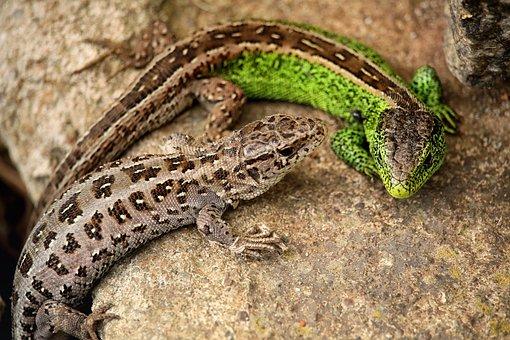 Lizards, Fence Lizards, Reptile, Lizard