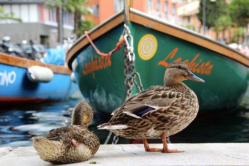 Duck, Rowing Boat, Water