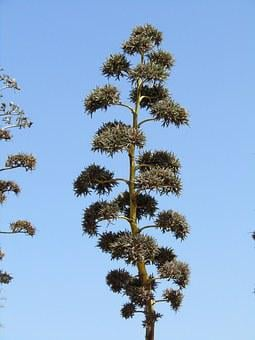Agave, Flora, Three, Spain, Plant, Green
