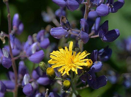 Hawkweed, Blossom, Bloom, Yellow, Lupins, Wild Flower