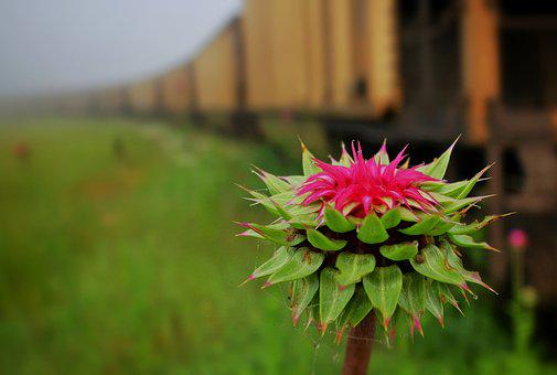 Thistle, Train Cars, Car, Locomotives, Rail, Rusty
