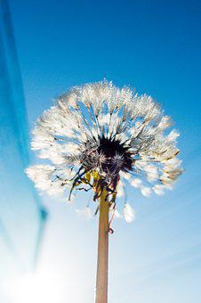Blue, Bright, Dandelion, Dandelion Puff, Flower