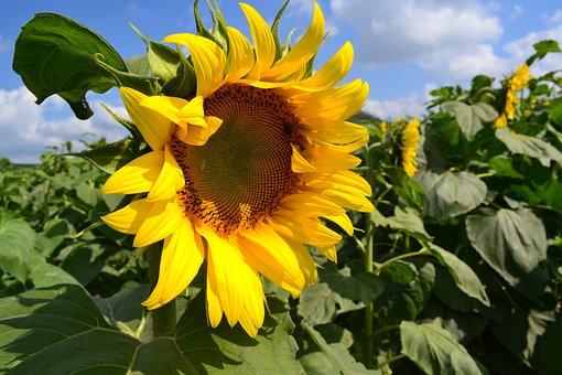 Flower, Sunflower, Western Nghe An, Vietnam