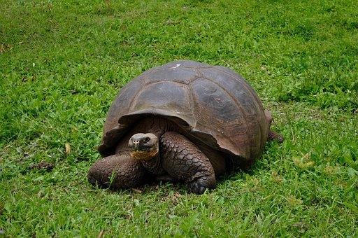 Giant, Tortoise, Turtle, Animal, Wildlife, Island