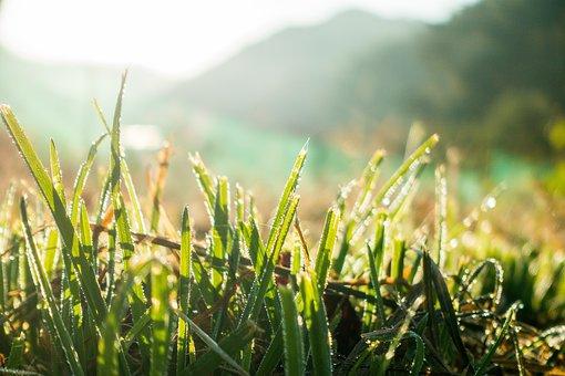 Close Up, Crop, Dew, Field, Grass, Grass Family, Hope