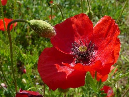 Poppy, Field Of Poppies, Red, Flower, Klatschmohn
