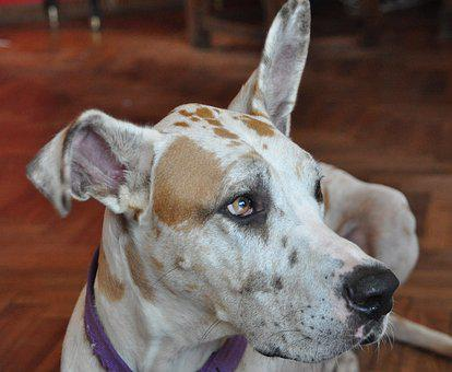 Dog, Great Danes, Pet, Large Dogs, Animals, Fauna