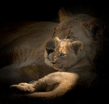 Motherhood, Cub, Lioness, Bond, Wild, Young, Female