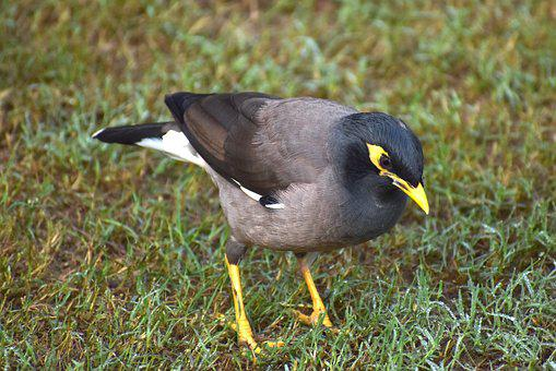 Myna, Mynah, Bird, Looking For Food, Grass