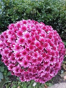 Flower, Bulgaria, Pink, Garden, Nature
