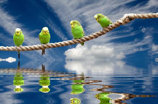 Wellensttiche, Birds, Nature, Parakeet, Animal World