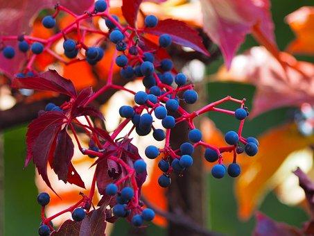 Vine-virgin, Liana, Parthenocissus, Quinquefolia, Plant