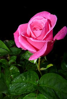 Rose, Bud, In Rain