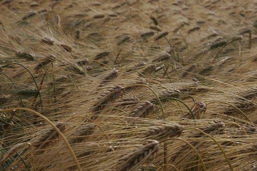 Autumn, Cereals, Agriculture, Harvest, Barley, Straw