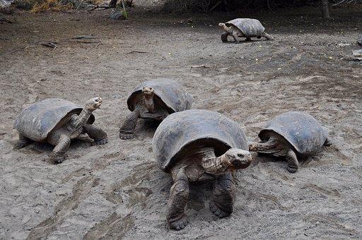 Tortoise, Galapagos, Wildlife, Giant, Wild, Ecuador