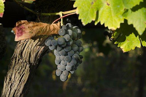 Vine, Black Grapes, Harvest, Vineyard, Cultivation