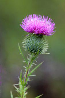 Thistle, Weed, Plant, Flower, Nature, Wild, Blossom