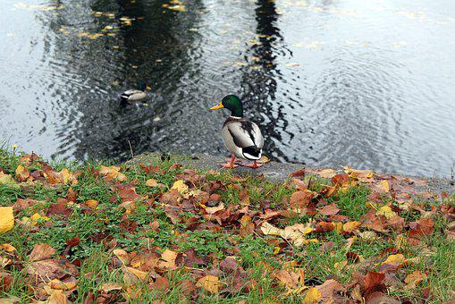 Park, Autumn, Spacer, Wild Ducks, October, Autumn Walk