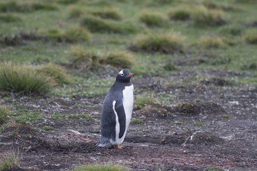 Gentoo Penguin, Penguin, Falkland Islands, Wildlife