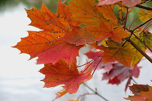 Foliage, Red, Autumn Gold, Autumn, Autumn Foliage, Tree