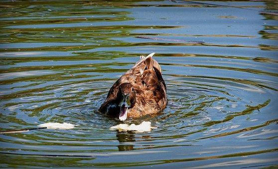 Duck, Oca, Animal, Animals, Nature, Water, Bird, Beak