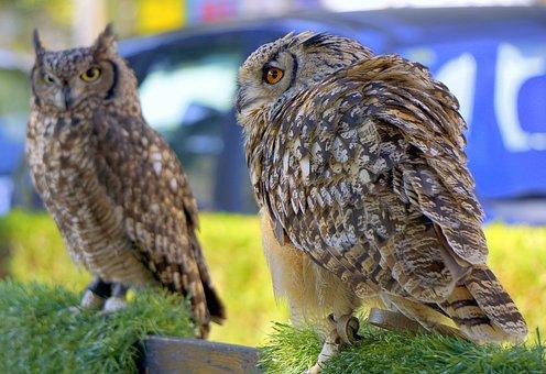 Owls, Birds, Falconry, Plumage, Bird Of Prey, Animal