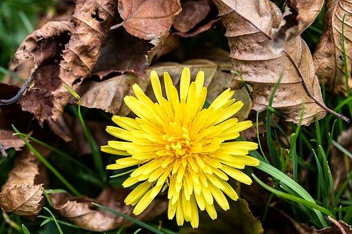 Common Dandelion, Taraxacum Sect, Ruderalia, Dandelion