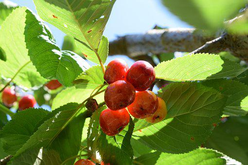 Chery, Plant, Nature, Fresh, Natural, Green, Garden
